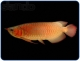 Азиатская Арована Asian Arowana Scleropages Formosus